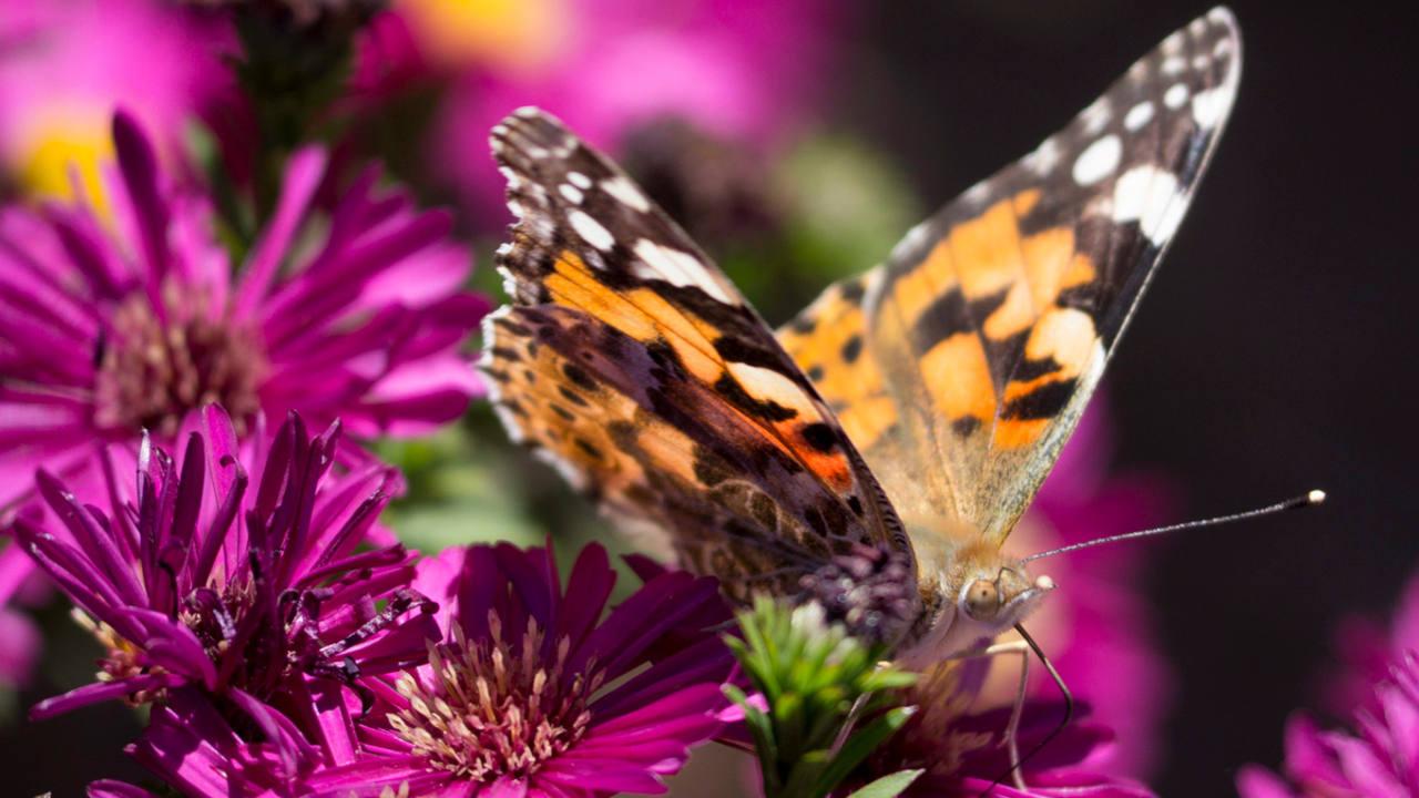 Mariposas con genes de avispa: la naturaleza crea animales