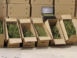 Aumenta la incautación de marihuana y el negocio legal en torno al cultivo de esta planta