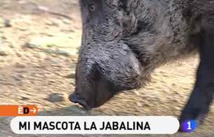 España Directo - Mi mascota la jabalina