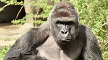 Ir al VideoMatan a un gorila en un zoo de EE.UU para salvar a un niño