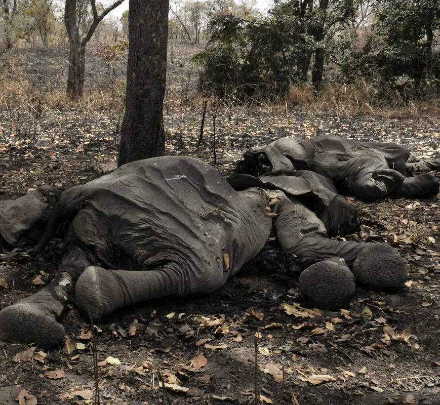 La mayor matanza de elefantes se ha perpetrado en Camerún.