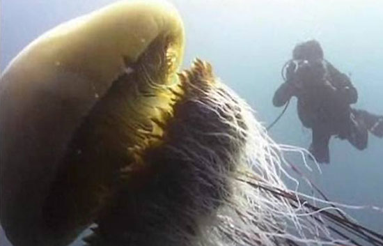 Medusas gigantes de 300 kilos