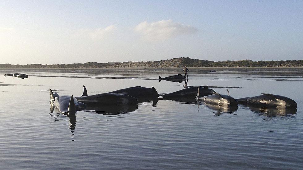 Muere un centenar de ballenas varadas en Nueva Zelanda