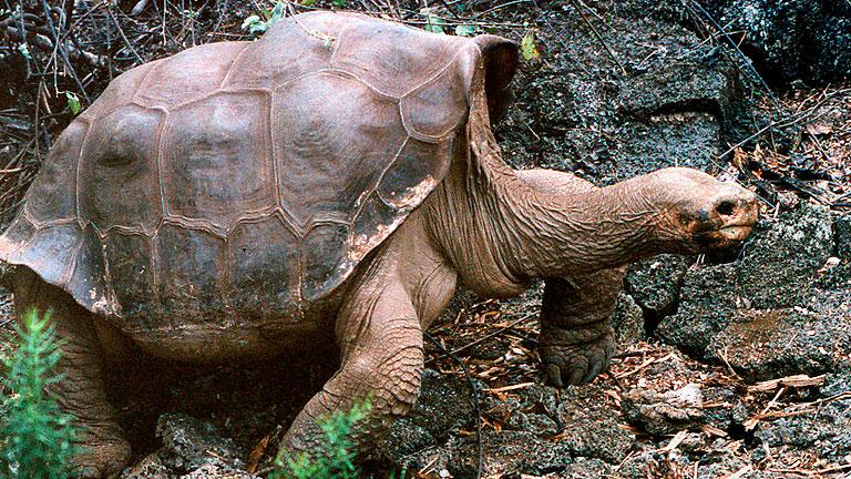 """Muere sin descendencia el """"solitario George"""", la última tortuga gigante de su especie"""