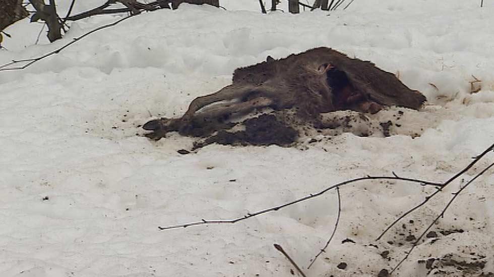 La nieve mata a cientos de animales en el norte de España