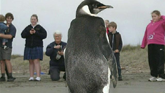 La odisea del pingüino viajero, de la Antártida a Nueva Zelanda
