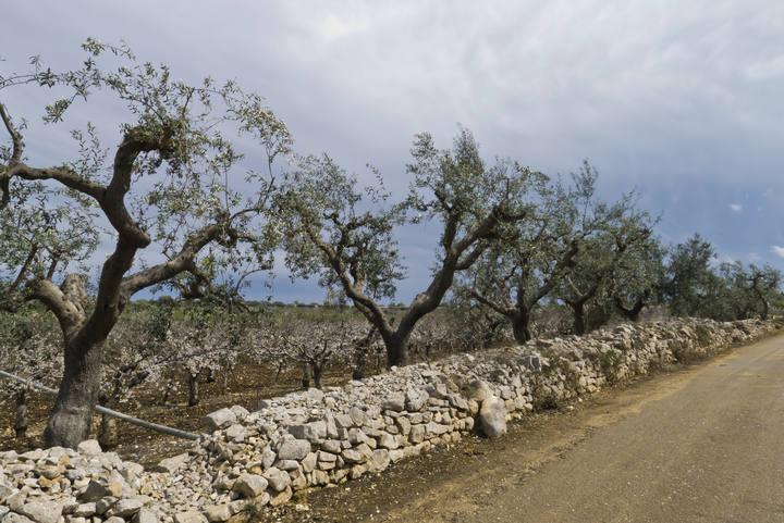 Olivos de la región italiana de Apulia