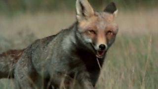 El hombre y la Tierra (Fauna ibérica) - Operación zorro, 2