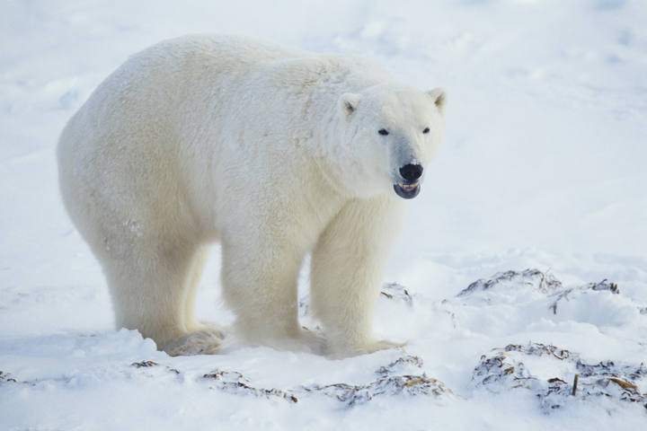 Un oso polar en Canadá