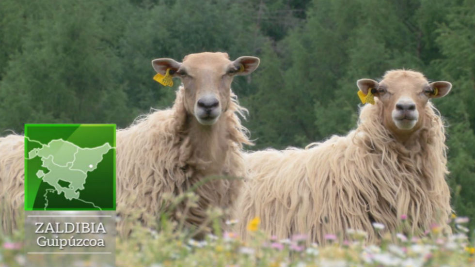 Aquí la tierra - La oveja sasi ardi, emblema vasco