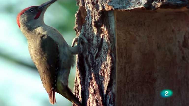 El hombre y la Tierra (Fauna ibérica) - Pájaros carpinteros 2