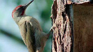 El hombre y la Tierra (Fauna ibérica) - Los pájaros carpinteros 2