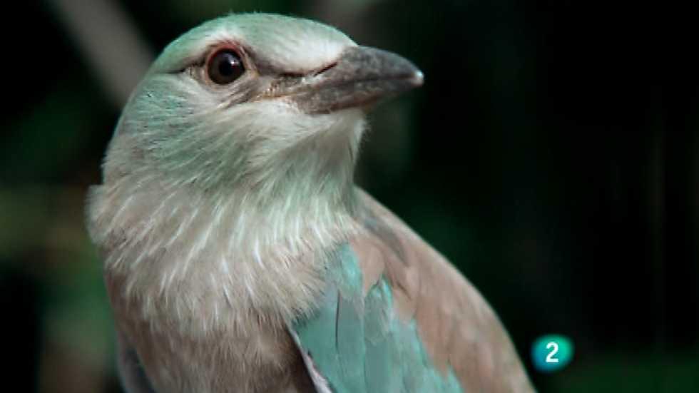 El hombre y la Tierra (Fauna ibérica) - Los pájaros carpinteros 3