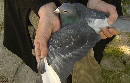 Las palomas mensajeras del Ejército español pasarán a la reserva dentro de dos meses