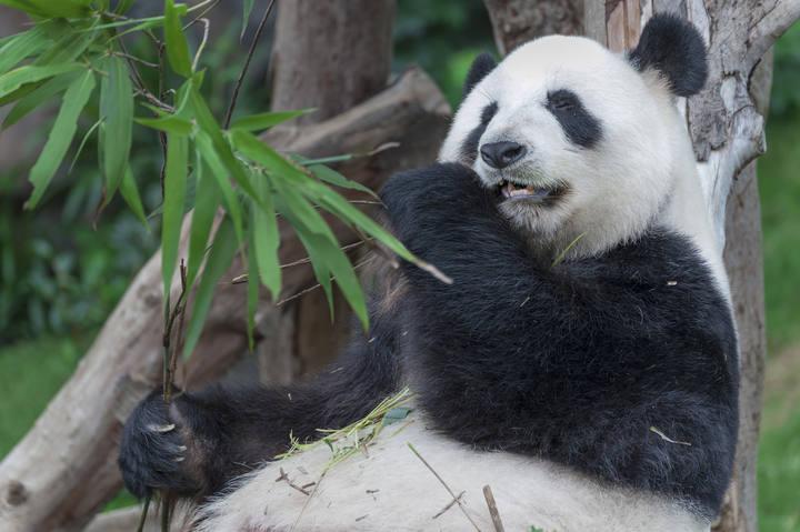 Al Oso Panda El Cuerpo No Le Pide Bambú