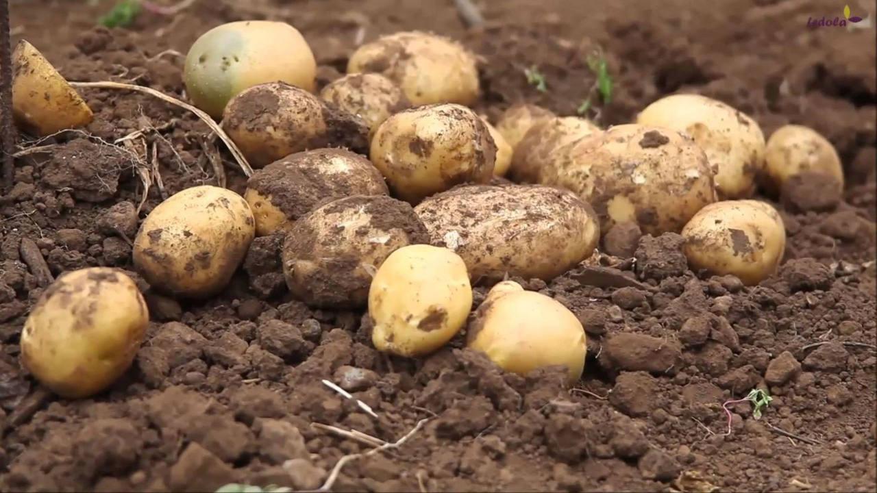 Patatas del campo español
