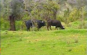 España Directo - ¡Peligro, toros sueltos!