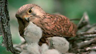 El hombre y la Tierra (Fauna ibérica) - Los pequeños cazadores alados 2 (El cernícalo)