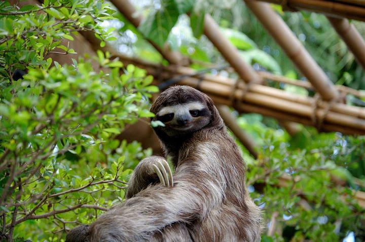 Perezoso pigmeo, una especie en la Lista Roja de la Unión Mundial de la Naturaleza.