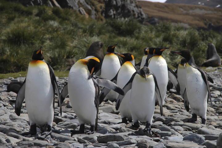 Pingüinos imperiales en Fortuna Bay, en las Islas Georgias.