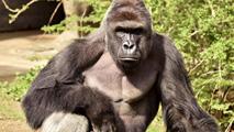 Ir al VideoLa Policia abre una investigación sobre los padres del niño que cayó al foso del gorila