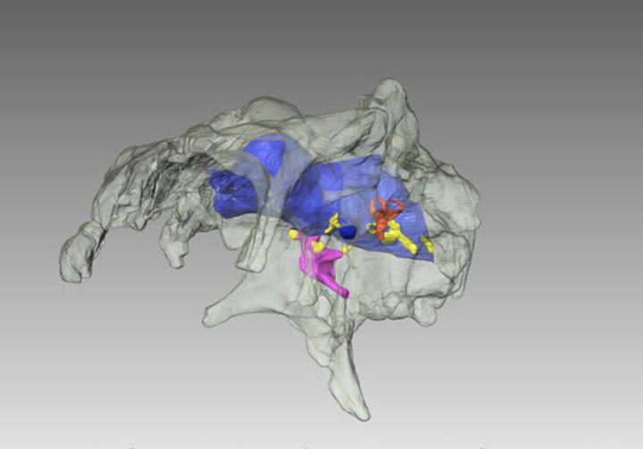 Primera reconstrucción tridimensional del encéfalo de un dinosaurio hadrosaurio