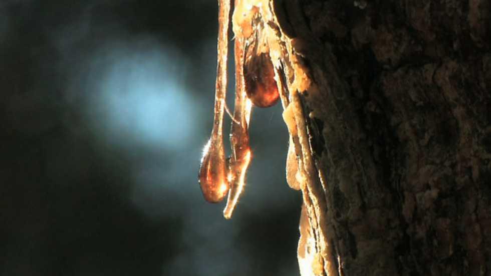 El bosque protector - Resina: una industria actual