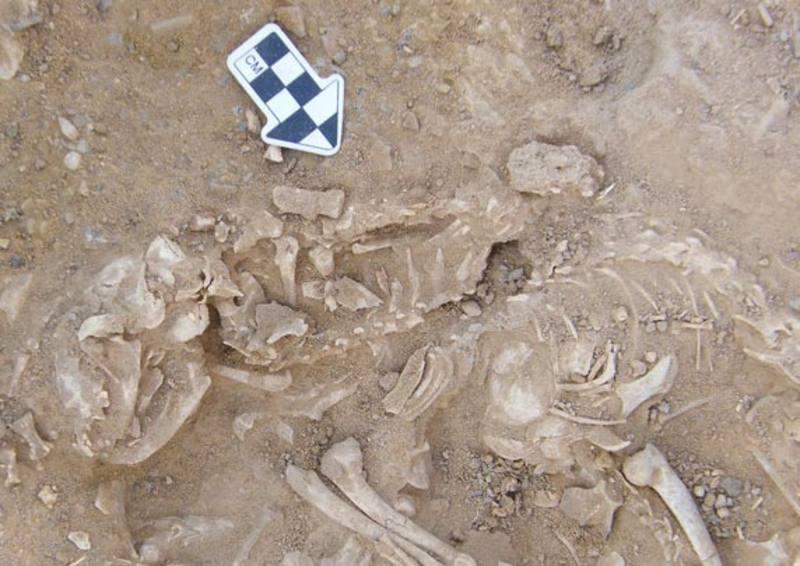 Restos de gatos de 6.000 años de antiguedad en Egipto. HIERAKONPOLIS EXPEDITION