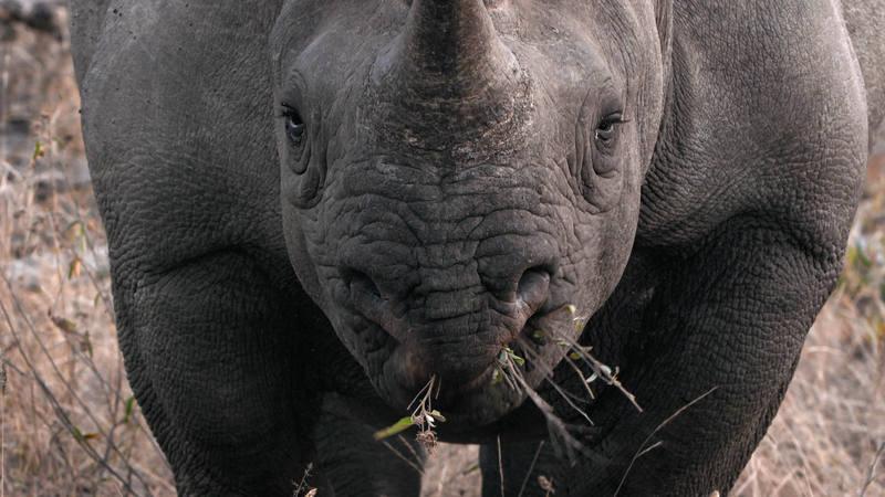 El rinoceronte se mueve en esta zona de Botsuana