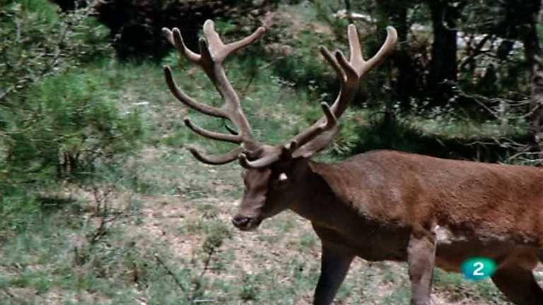 El hombre y la Tierra (Fauna ibérica) - Los señores del bosque 1