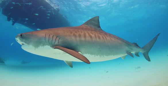 *tiburón tigre
