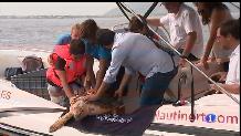 Tornen a la mar una tortuga ferida pels plàstics.
