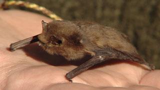 La UCM plantea usar murciélagos para controlar la plaga de mosquitos que transmiten el Zika