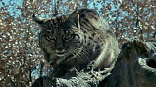 El hombre y la Tierra (Fauna ibérica) - El último lince