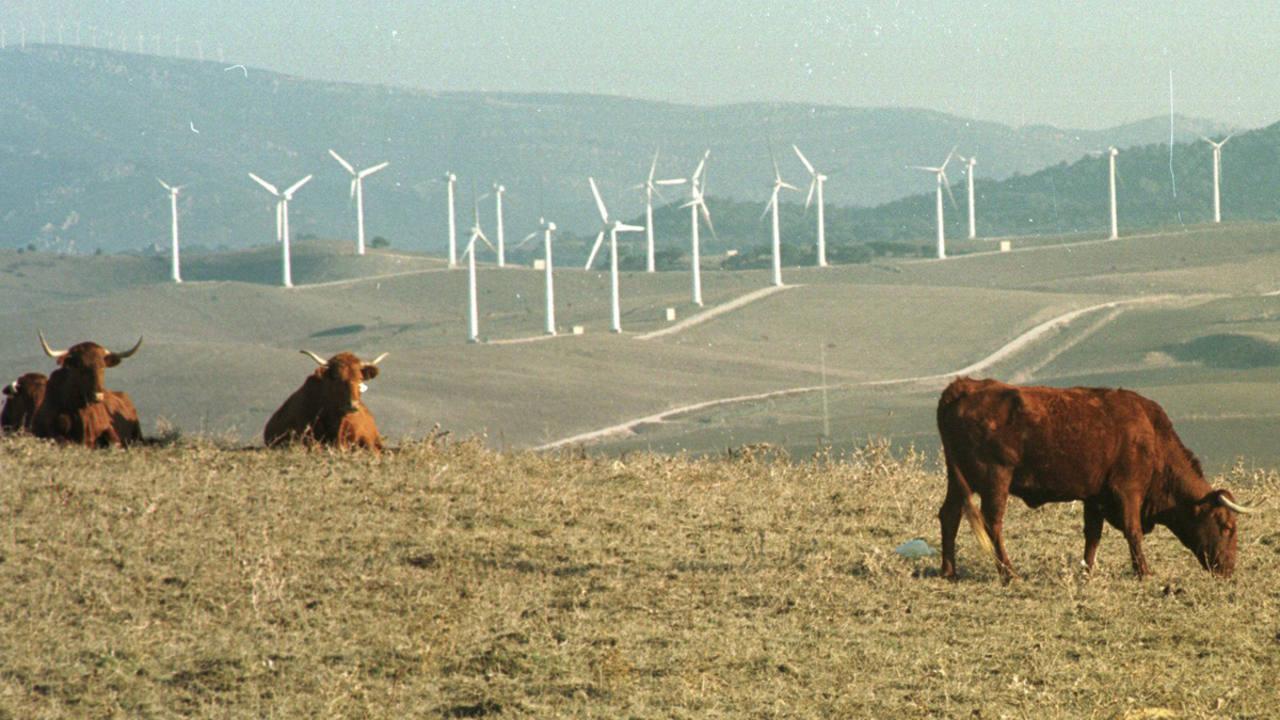 Unas vacas pastan con unos molinos eólicos de Algeciras en el horizonte