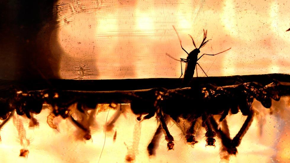 El virus del Zika afecta al crecimiento y el funcionamiento de las células de la corteza cerebral, según un estudio