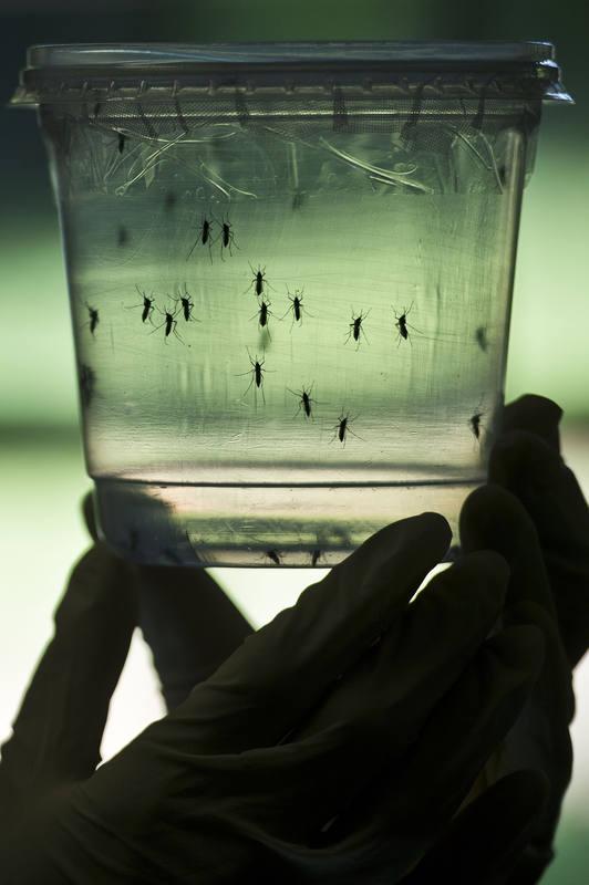 El zika es un virus del género Flavivirus que transmite el mosquito Aedes.