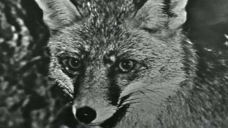 Fauna - Los zorros