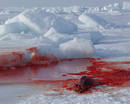 Ir a Fotogaleria Matanza de focas en Canadá 2009