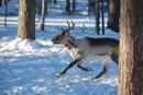 Ir a Fotogaleria Sistema de localización de renos en Laponia