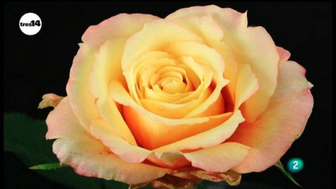 tres 14 - flores - Ver ahora