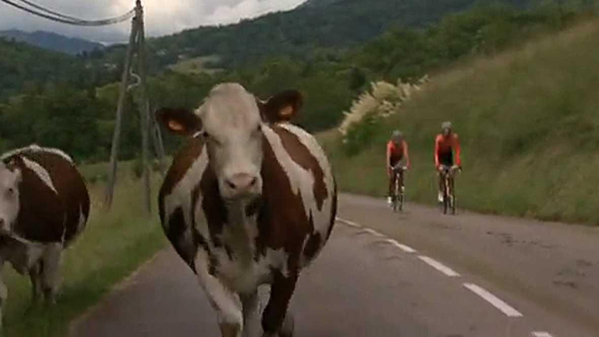 La imagen del día se ha visto en la sexta etapa del Criterium Dauphinè. Unas vacas han saltado a la carrera justo en el momento en el que el pelotón pasaba por su altura. Varios corredores se han ido al suelo, entre los más perjudicados ha estado el