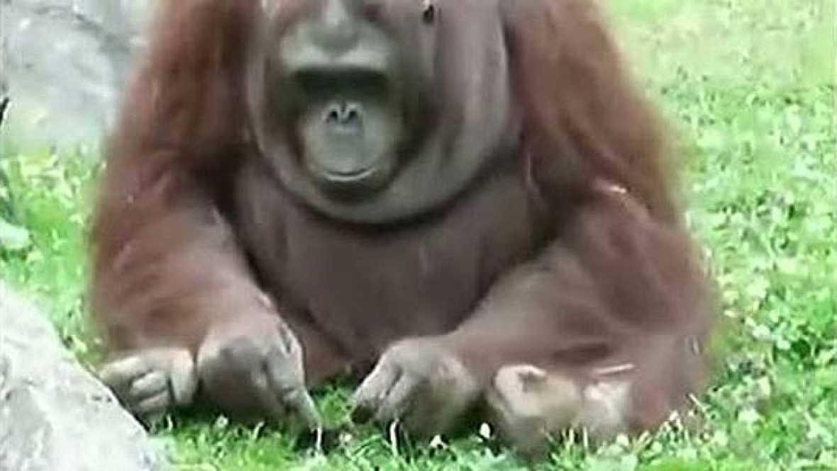 Un orangután salva a un pajarillo de morir ahogado