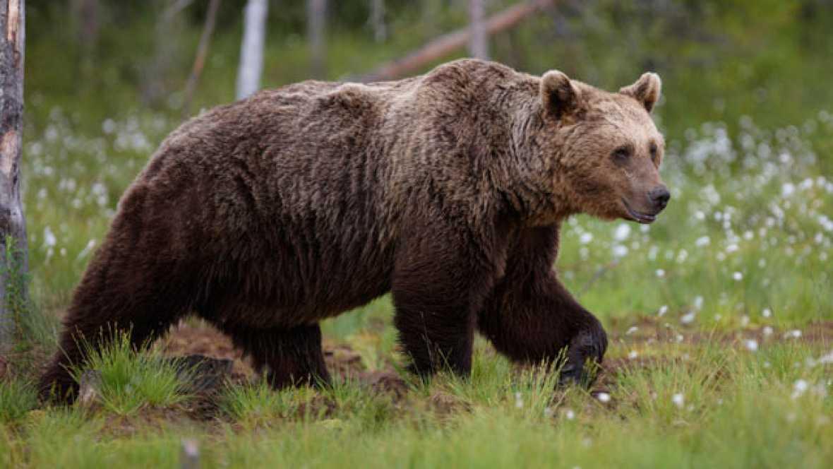 El oso pardo cambia sus hábitos para huir del hombre