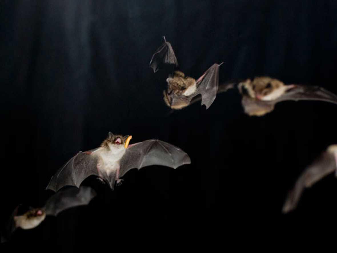 Los 'súper músculos' de los murciélagos les facilitan la localización de sus presas