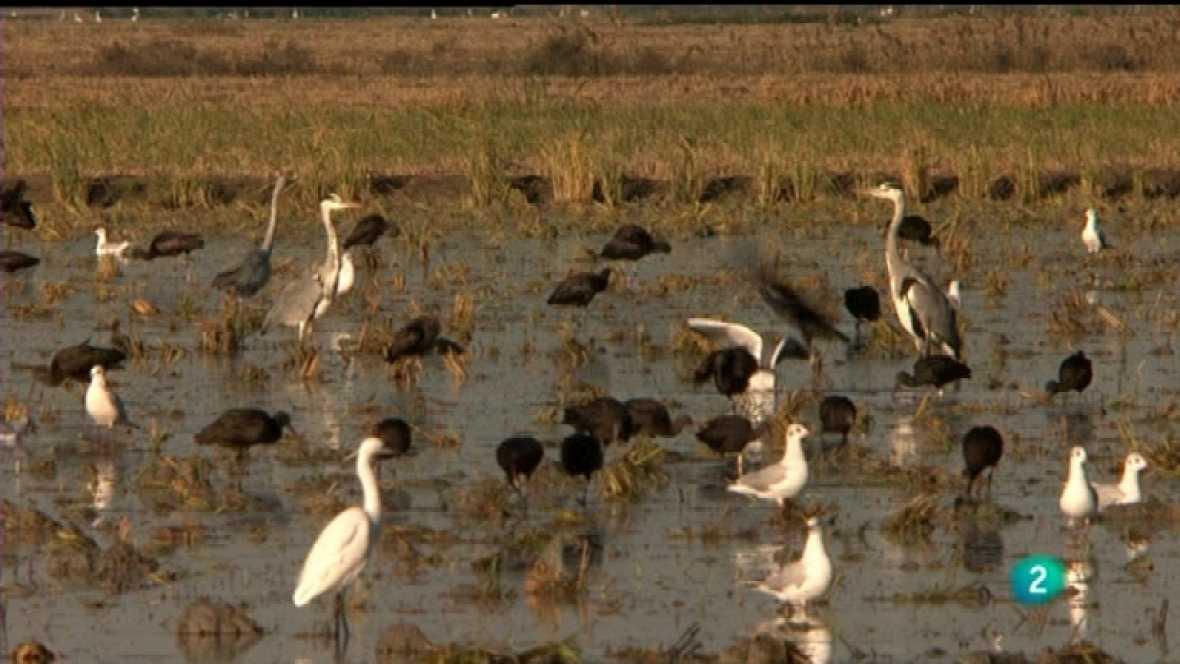 Jara y sedal - Los gansos de Isla Mayor - Ver ahora