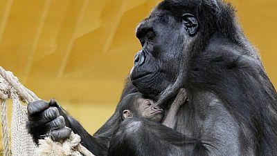 Una gorila recién nacida amplia el número de animales de Cabárceno
