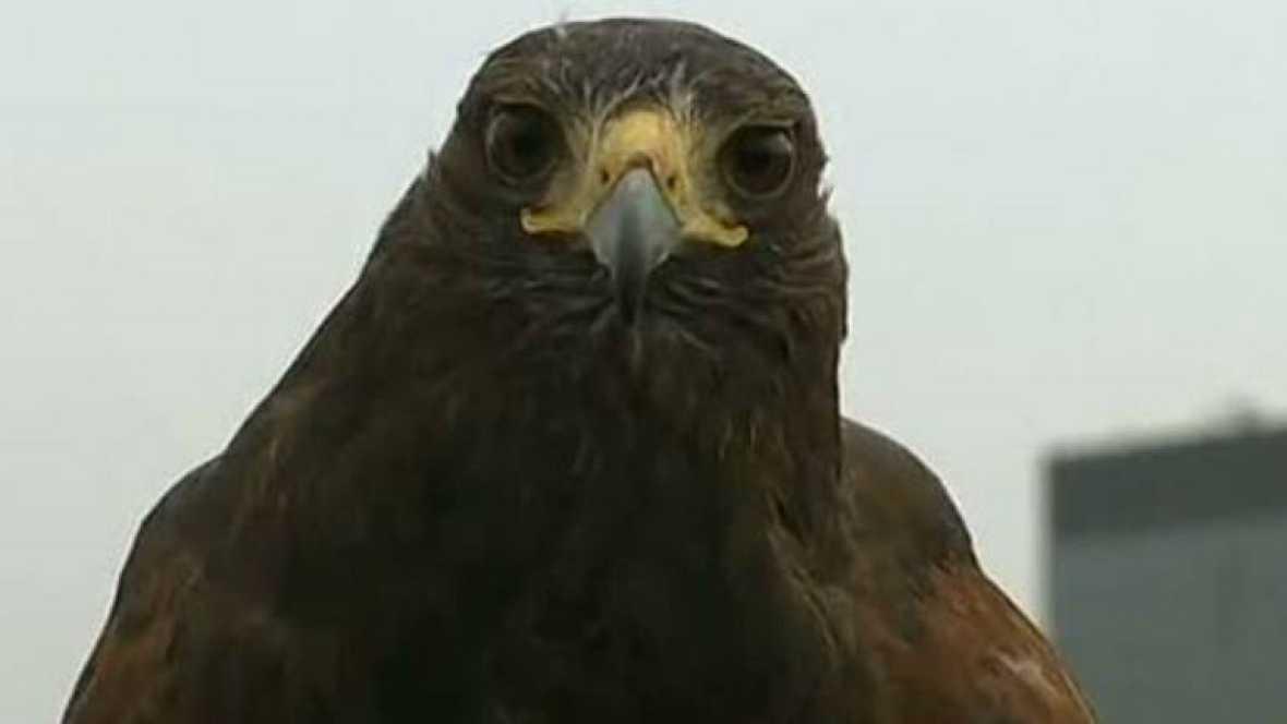 Rufus es el guardián de Wimbledon. Un halcón Harris que guarda las pistas de tenis londinenses encargándose de mantener despejado el espacio áereo. Su sola presencia es suficiente para ahuyentar a las palomas, sin necesidad de tener que atacarlas. C