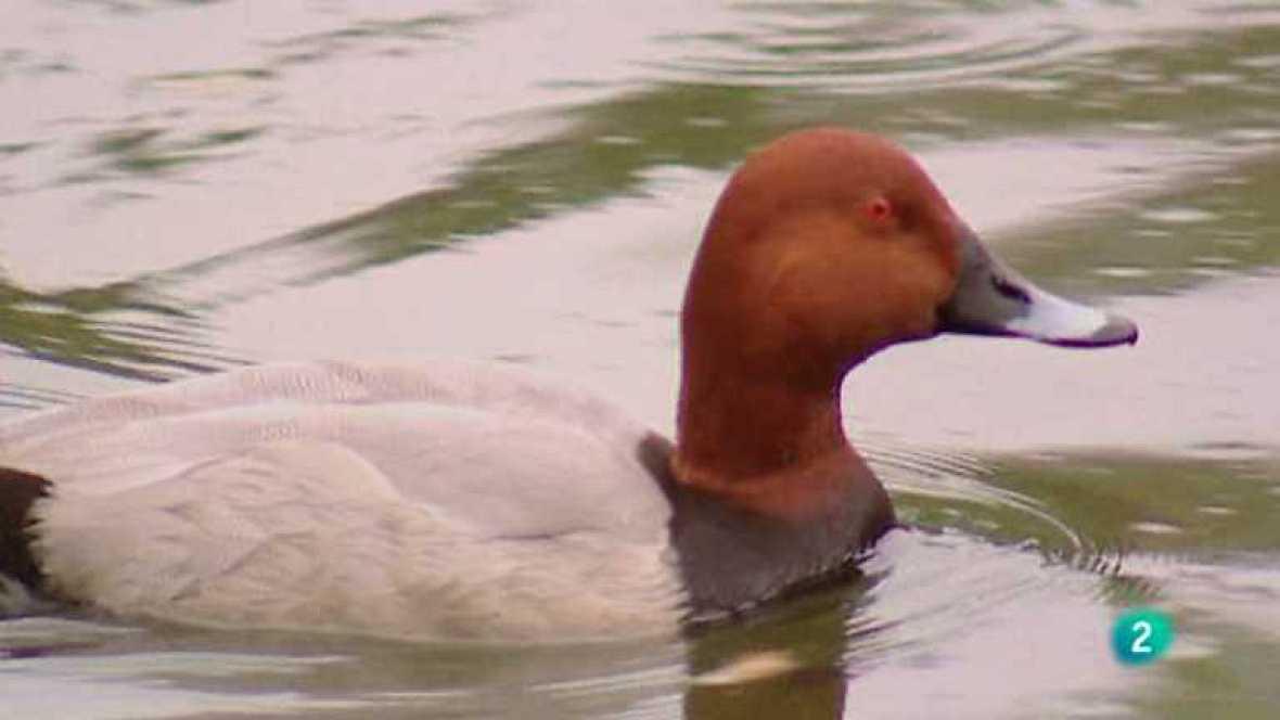 Biodiario - El pato buceador - ver ahora