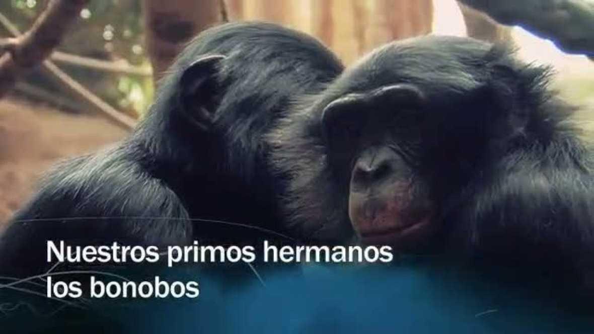 Redes - Nuestros primos hermanos los bonobos - avance